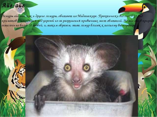 Айе-айе Лемуры айе-айе, как и другие лемуры, обитают на Мадагаскаре. Практиче...