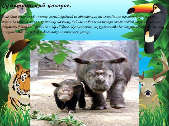 Суматранский носорог. Еще один азиатский носорог, самый древний из обитающих...