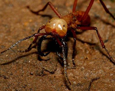 армейские муравьи солдаты.jpg