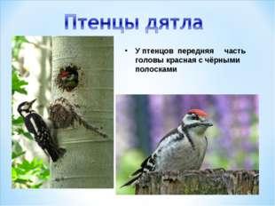 У птенцов передняя часть головы красная с чёрными полосками