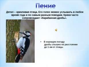 Дятел – крикливая птица. Его голос можно услышать в любое время года и по сам