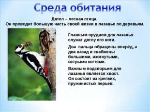 Дятел – лесная птица. Он проводит большую часть своей жизни в лазанье по дере