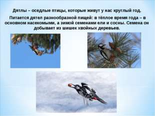 Дятлы – оседлые птицы, которые живут у нас круглый год. Питается дятел разноо