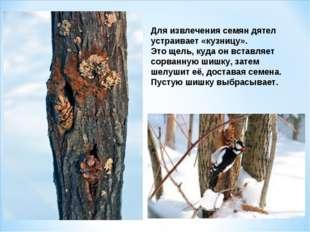 Для извлечения семян дятел устраивает «кузницу». Это щель, куда он вставляет