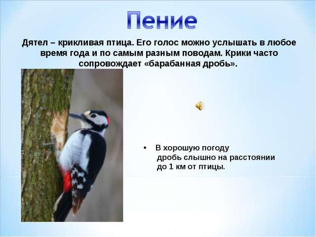 Дятел – крикливая птица. Его голос можно услышать в любое время года и по сам...