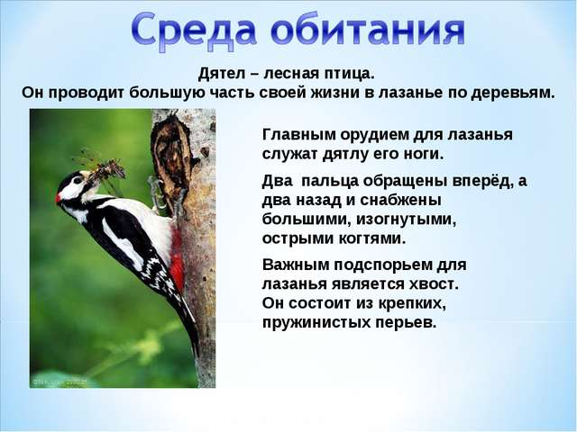 Дятел – лесная птица. Он проводит большую часть своей жизни в лазанье по дере...