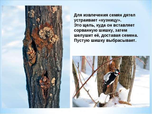 Для извлечения семян дятел устраивает «кузницу». Это щель, куда он вставляет...