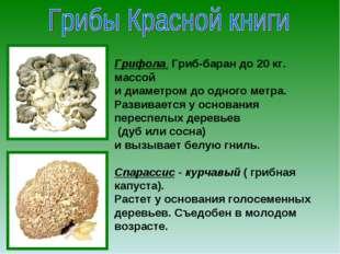 Грифола. Гриб-баран до 20 кг. массой и диаметром до одного метра. Развивается