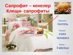 Сапрофит – кенелер Клещи- сапрофиты Обитание – постель Питание- кожа человека