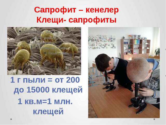 Сапрофит – кенелер Клещи- сапрофиты 1 г пыли = от 200 до 15000 клещей 1 кв.м=...