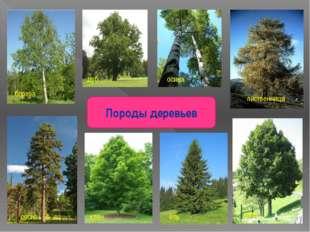 Породы деревьев дуб сосна береза осина лиственница клен ель липа