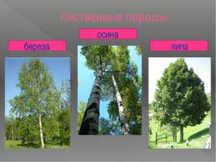 Лиственные породы береза осина липа