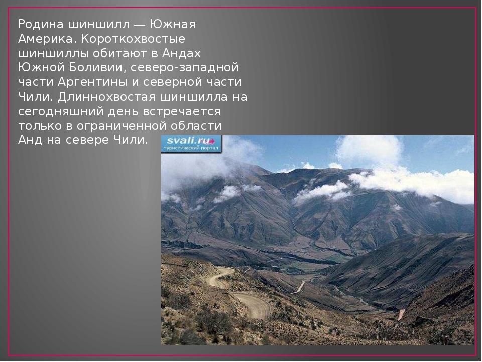 Родина шиншилл — Южная Америка. Короткохвостые шиншиллы обитают в Андах Южной...