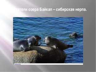 Обитатели озера Байкал – сибирская нерпа.