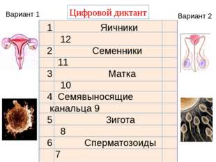 Цифровой диктант Вариант 1 Вариант 2 1 Яичники 12 2 Семенники 11 3 Матка 10