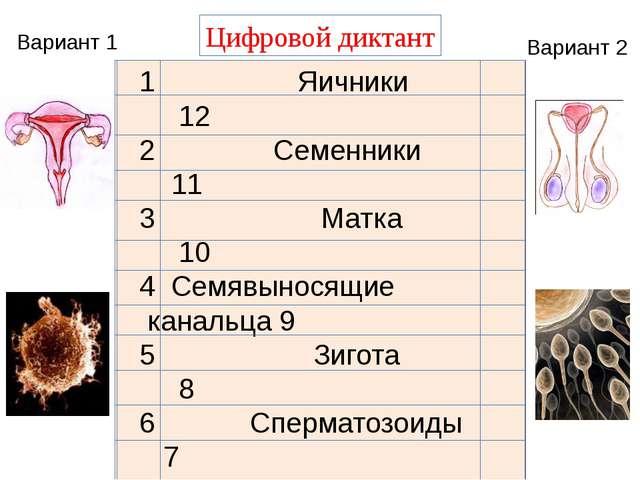 Цифровой диктант Вариант 1 Вариант 2 1 Яичники 12 2 Семенники 11 3 Матка 10...