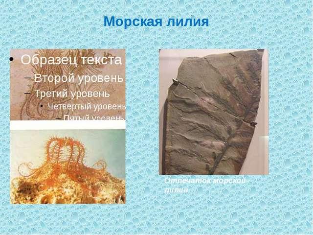 Морская лилия Отпечаток морской лилии