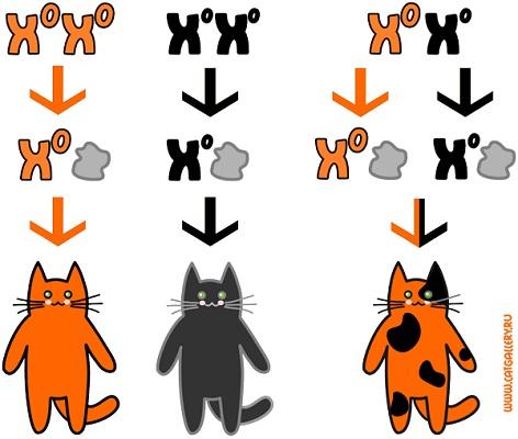 http://www.catgallery.ru/info/cats/female-cats-calico-genetics.jpg