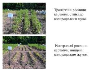 Трансгенні рослини картоплі, стійкі до колорадського жука. Контрольні рослини
