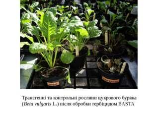 Трансгенні та контрольні рослини цукрового буряка (Beta vulgaris L.) після об