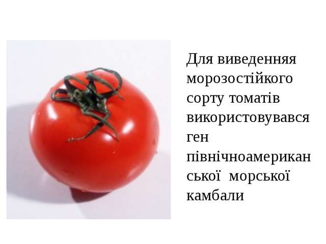 Для виведенняя морозостійкого сорту томатів використовувався ген північноамер...