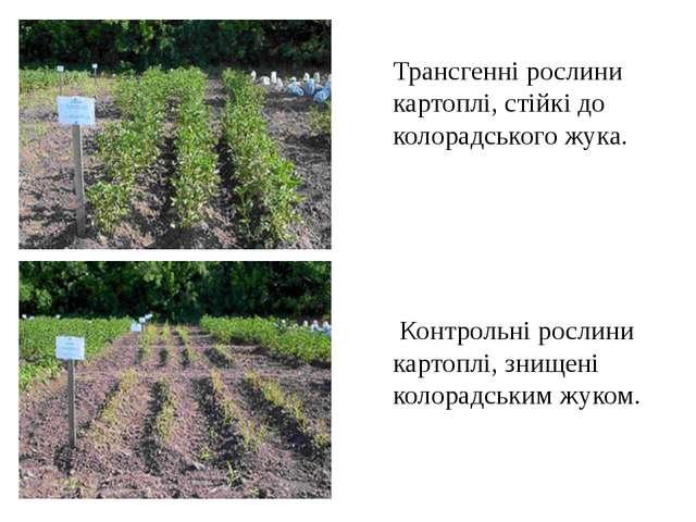 Трансгенні рослини картоплі, стійкі до колорадського жука. Контрольні рослини...