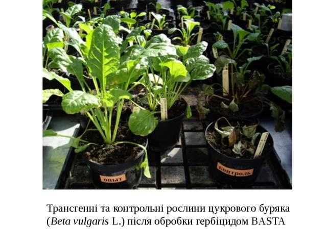 Трансгенні та контрольні рослини цукрового буряка (Beta vulgaris L.) після об...
