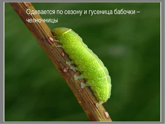 Одевается по сезону и гусеница бабочки – челночницы