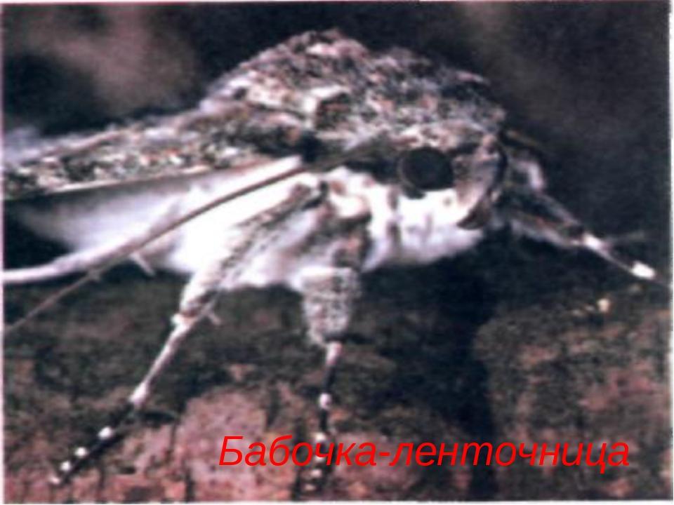 Бабочка-ленточница