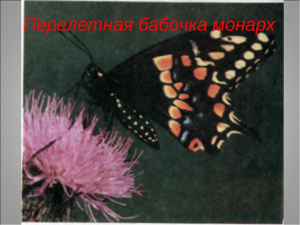 Перелетная бабочка монарх