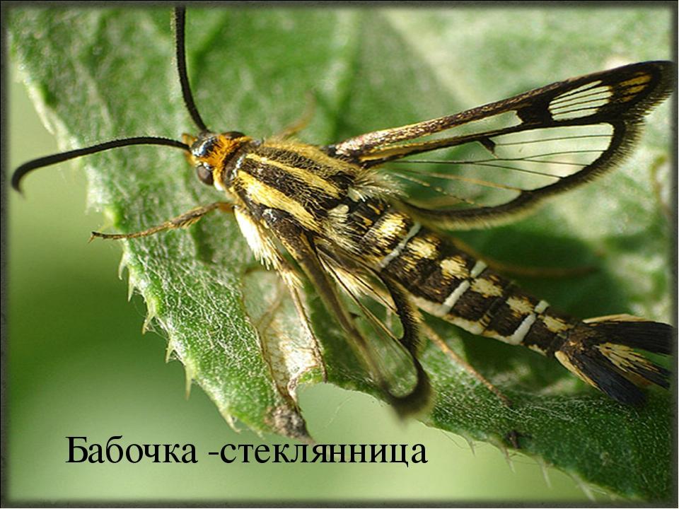 Бабочка -стеклянница