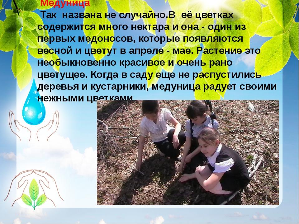 Медуницa Так названа не случайно.В её цветках содержится много нектара и она...