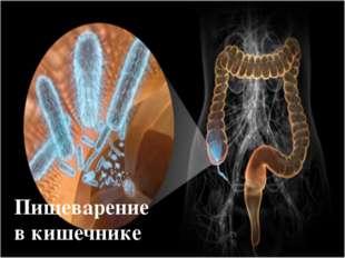 Пищеварение в кишечнике
