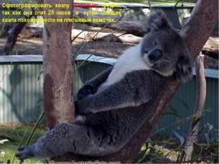 Сфотографировать коалу довольно трудно, так как она спит 20 часов в сутки. Сп