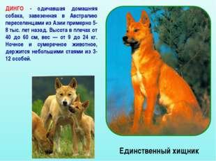 Единственный хищник ДИНГО - одичавшая домашняя собака, завезенная в Австралию