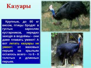 Казуары Крупные, до 90 кг весом, птицы бродят в густых зарослях кустарников,
