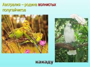 Австралия – родина волнистых попугайчиков