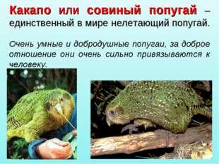 Какапо или совиный попугай – единственный в мире нелетающий попугай. Очень ум