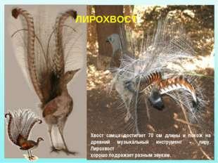 Хвост самца достигает 70 см длины и похож на древний музыкальный инструмент –