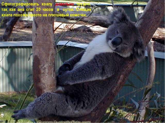 Сфотографировать коалу довольно трудно, так как она спит 20 часов в сутки. Сп...
