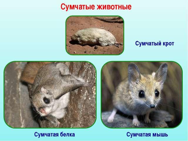 Сумчатые животные Сумчатый крот Сумчатая белка Сумчатая мышь