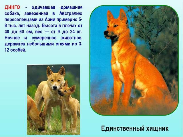 Единственный хищник ДИНГО - одичавшая домашняя собака, завезенная в Австралию...
