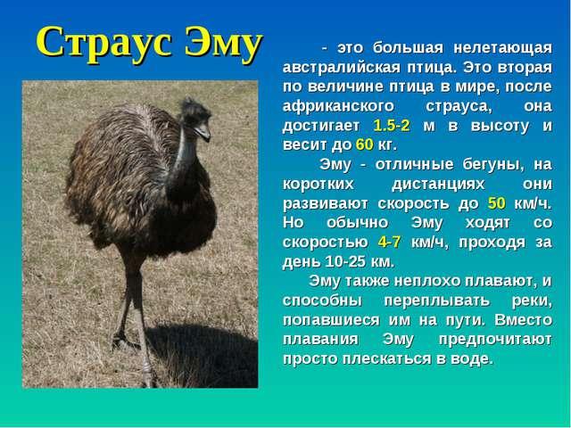Страус Эму - это большая нелетающая австралийская птица. Это вторая по величи...