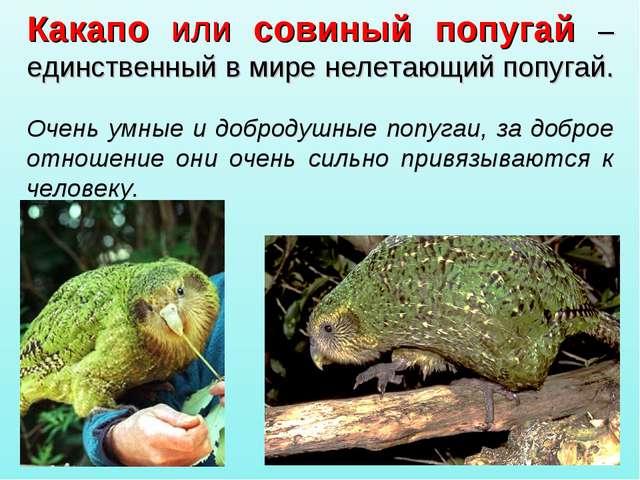 Какапо или совиный попугай – единственный в мире нелетающий попугай. Очень ум...