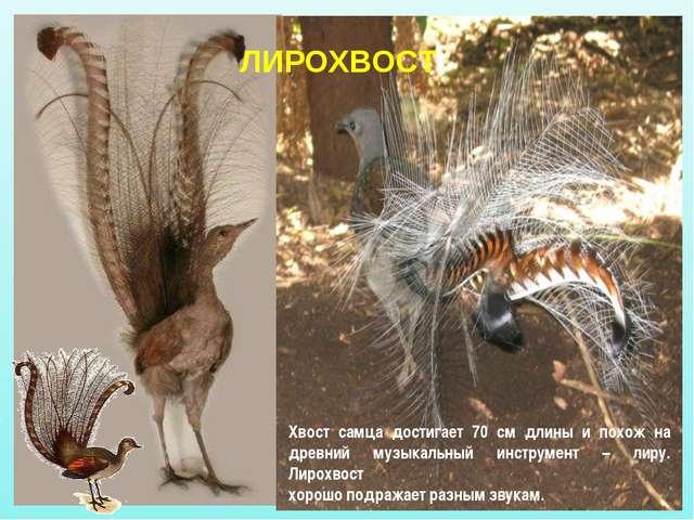 Хвост самца достигает 70 см длины и похож на древний музыкальный инструмент –...