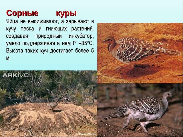 Сорные куры Яйца не высиживают, а зарывают в кучу песка и гниющих растений, с...