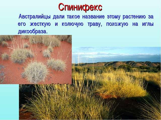 Спинифекс Австралийцы дали такое название этому растению за его жесткую и кол...