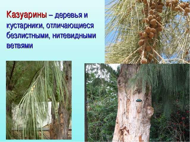 Казуарины – деревья и кустарники, отличающиеся безлистными, нитевидными ветвями