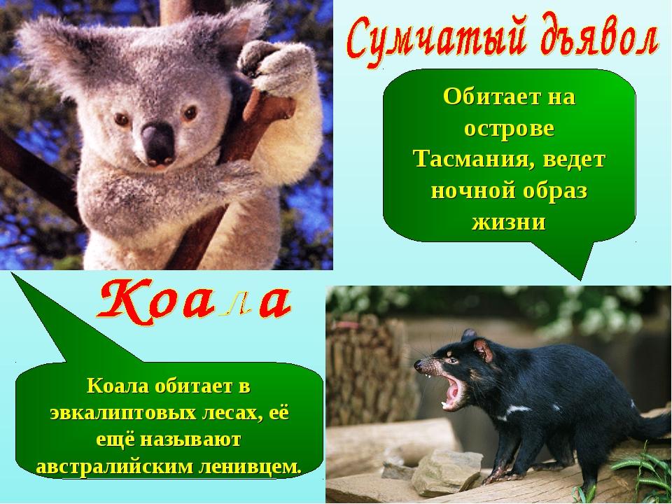 Коала обитает в эвкалиптовых лесах, её ещё называют австралийским ленивцем. О...