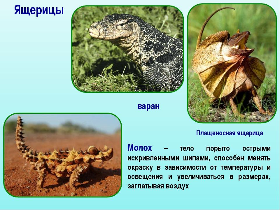 Ящерицы варан Молох – тело порыто острыми искривленными шипами, способен меня...